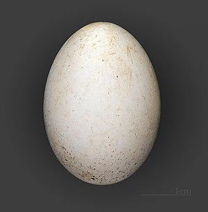 Leach's storm petrel - Egg of Leach's storm petrel (coll.MHNT)