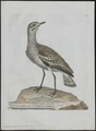 Oedicnemus crepitans - 1790-1796 - Print - Iconographia Zoologica - Special Collections University of Amsterdam - UBA01 IZ17200081.tif