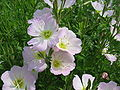 Oenothera speciosa.jpg