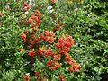 Ognik szkarłatny (Pyracantha coccinea M.Roem) 11.jpg