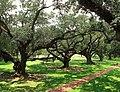 Old oaks (7570419150).jpg