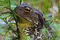 Old toad.jpg