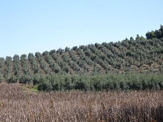 Arbequina - Arbequina olive trees on a plantation in Brazil
