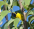 Olive-backed Sunbird (14308456810).jpg