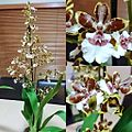 Oncostele (Oncidium) Wildcat Jungle monarch.jpg
