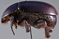 Oogeneius chilensis paratype 2 lateral.jpg
