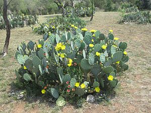 Llano County, Texas - Cactus in spring bloom in rural Llano County