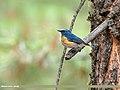 Orange-flanked Bush Robin (Tarsiger cyanurus) (49334983266).jpg