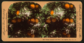 Orange Blossom and Fruit, Los Angeles, Cal., U.S.A, by Singley, B. L. (Benjamin Lloyd).png