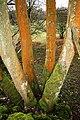 Orange Lichen, near Thrang End Wood - geograph.org.uk - 362069.jpg