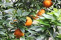Oranges (69030721).jpeg