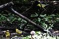 Orchard Oriole (female) & Blue-winged Warbler (bathing) Boy Scout Woods High Island TX 2018-04-11 12-51-43-2 (26932463537).jpg