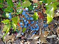 Oregon Grape (4715021348).jpg