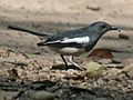 Oriental Magpie Robin RWD.jpg