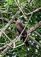 Oriental honey-buzzard.jpg