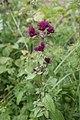 Origanum vulgare, Le Brey - img 22971.jpg