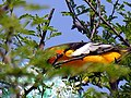 Oriole Male Feeding Young (17314575).jpg