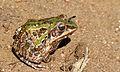 Ornate Frog (Hildebrandtia ornata) (5984077767).jpg