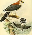 Ornithological miscellany (1876) (14561879459).jpg