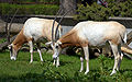 Oryx dammah pair Warsaw.jpg