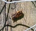 Osmia species male, close to leaiana-niveata. (32383896505).jpg