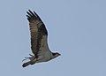 Osprey (13600367824).jpg