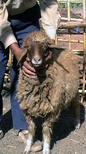 Timahdite - Timahdite sheep