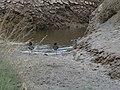 Oystercatchers in saltmarsh - geograph.org.uk - 1283816.jpg