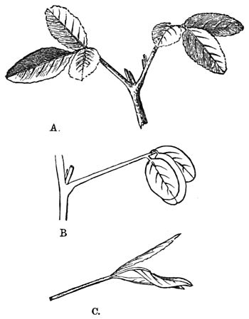 PSM V18 D522 Melilotus officinalis in durnal and nocturnal state.jpg