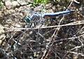 Pachydiplax longipennis-Male-3.jpg