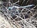 Pachydiplax longipennis-Male-4.jpg