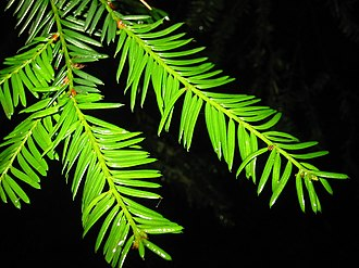 Taxus brevifolia - Image: Pacific Yew 8538