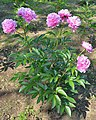 Paeonia lactiflora (hanakago) 01.jpg