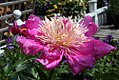 Paeonia lactiflora Pink Delight 4zz.jpg