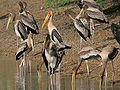 Painted Stork (Mycteria leucocephala)- Adult with Immatures W IMG 8601.jpg