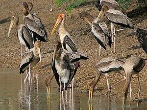 Mycteria - Painted stork Mycteria leucocephala at Uppalapadu, Andhra Pradesh, India
