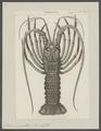 Palinurus guttatus - - Print - Iconographia Zoologica - Special Collections University of Amsterdam - UBAINV0274 096 16 0005.tif
