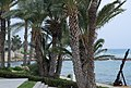 Palm Trees on the Beach at Paphos.jpg