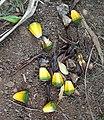 Pandanus heterocarpus fruits - Grande Montagne 1.jpg
