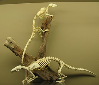 Pangolin - Pangolin skeletons at the Museum of Osteology (2009).