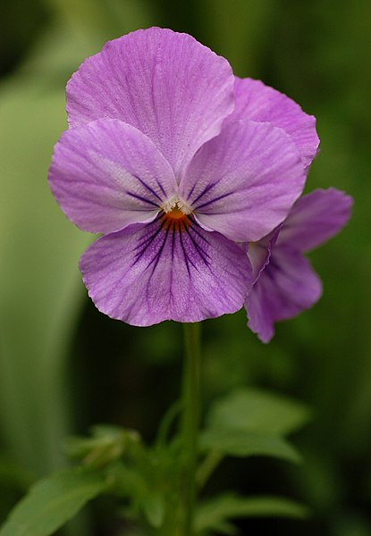 File:Pansy Viola x wittrockiana Purple Cultivar Flower 1907px.jpg