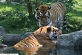 Panthera tigris 8zz.jpg