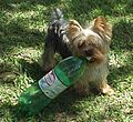 Panzer the Yorkshire Terrier.jpg