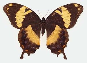 Papilio homerus - Image: Papilio homerus ulster
