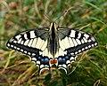 Papilio machaon - Andechs, Bäckerbichl (Fauna) HB-12.jpg