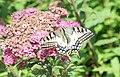 Papilio machaon from Mont Pelerin.jpg