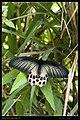Papilionidae (10779639195).jpg