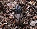Paralissotes reticulatus 12.JPG