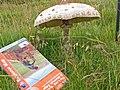 Parasol Mushroom on Caradoc - geograph.org.uk - 891735.jpg