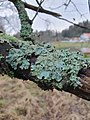Parmelia sulcata 105577321.jpg